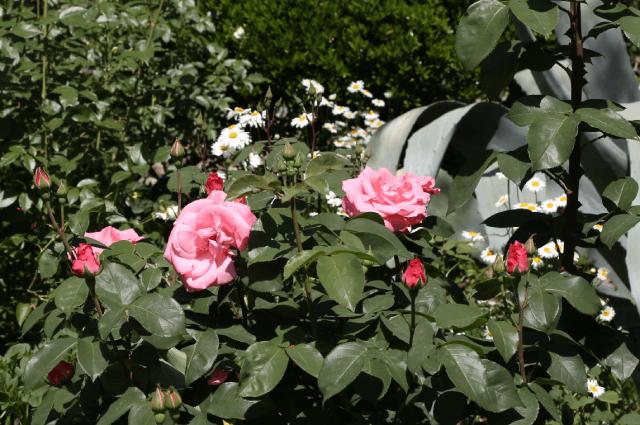 Французская фирма «Мейян» подарила в 2000-х годах розу сорта Антон Чехов.