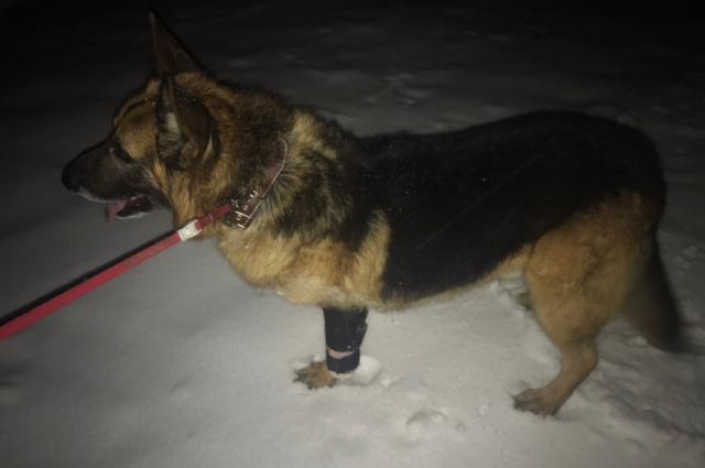 Сейчас пес полностью восстановился после травмы.