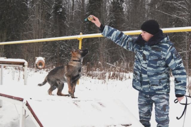 С собакой проходят общий курс дрессировки. Осваивают команды и работу с аппортировочным предметом, занимаются на специальных тренажерах.