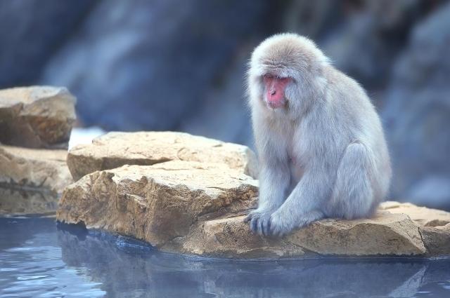 В парке снежных обезьян. Дзигокудани, Япония.