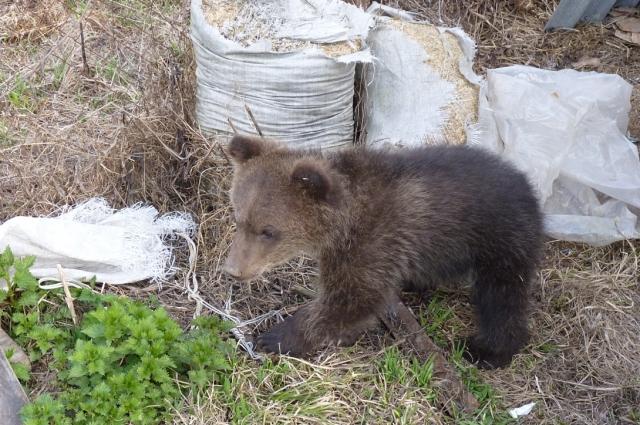 Медведи приходят в Кузбасс из соседних регионов.