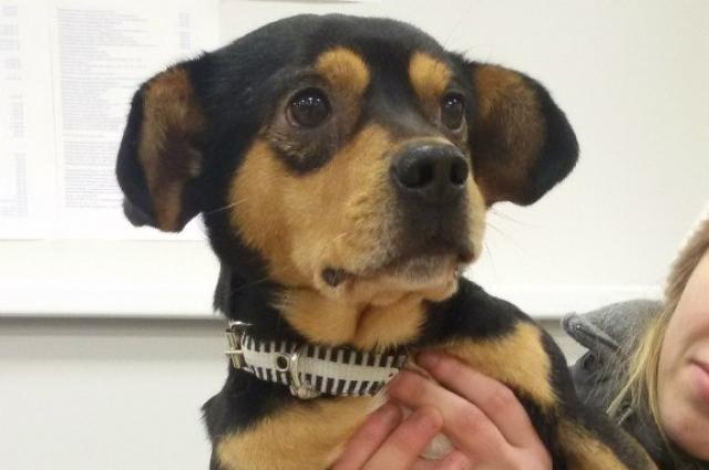 Вероятнее всего, после реабилитации пес сможет ходить на четырех лапах.