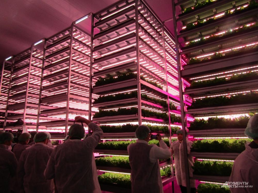 За сутки собираются примерно три тысячи кустов салата