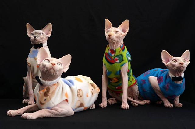Хозяева сфинксов заводят животным домашний гардероб.