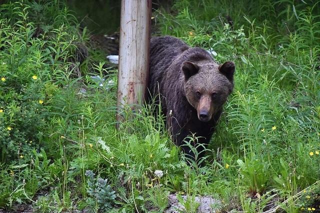 Ежегодно в Якутии происходят 3-4 нападения медведей на людей.