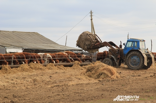 На ферме хозяйства «Русь» коров кормят своим выращенным кормом.