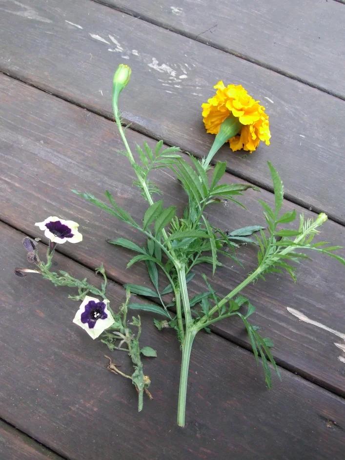 У любимых цветов отрежьте побеги с2–3 междоузлиями.