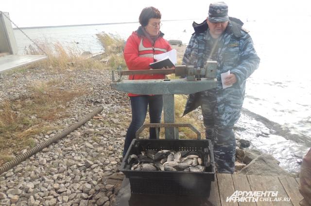 Главный рыбовод акционерного общества «Челябрыбхоз» Наталья Дронова говорит, урон наносят любители молодой рыбы, преждевременно вылавливающие мальков.