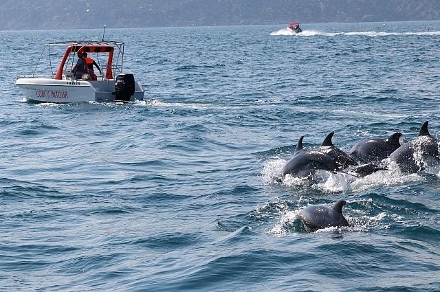 К черноморским дельфинам можно подплыть на довольно близком расстоянии.