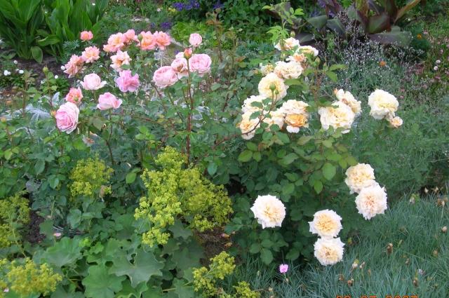 Манжетка и розы