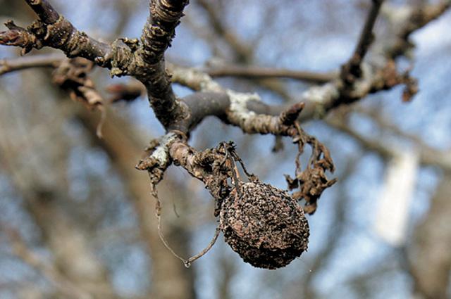 Мумия плода
