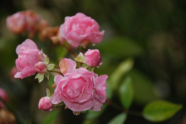 розы, куст