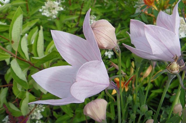 Платикодон крупноцветковый Fuji Pink