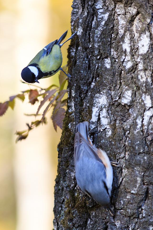 Зимой каждый выжи-вает по-своему– попол-зень делает запасы, боль-шие синицы ими пользуются.