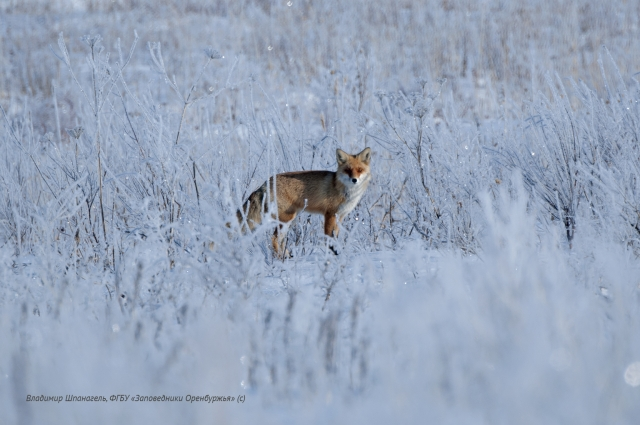 Лисица в этом году начала искать пару позже обычного.