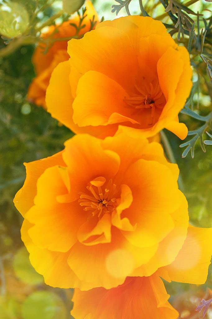Эшшольция калифорнийская сорта Оранжевый король.
