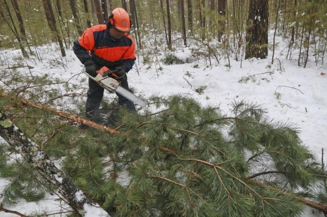 На праздник заготавливают макушки взрослых деревьев