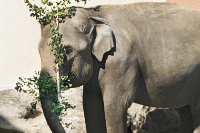 Много времени в воде проводит и слониха Даша