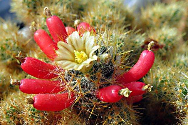Мамиллярия побегоносная (Mammillaria prolifera).