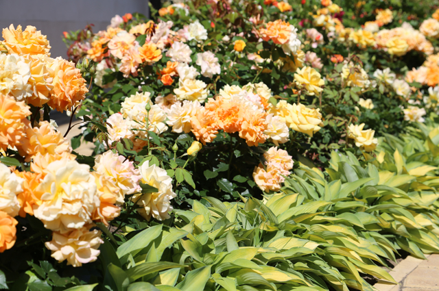 Чарующий бордюр из желтых роз