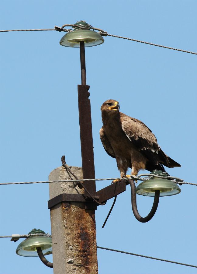 Степной орёл в смертельной опасности