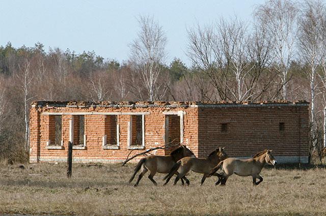 Лошади Пржевальского замечены возле заброшенного здания в зоне отчуждения Чернобыльской АЭС.