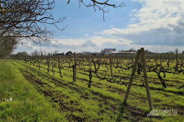 Молдавия, виноградник