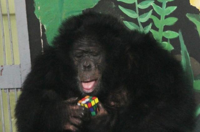 Дополнительный бассейн был установлен и в вольере пары шимпанзе – Джонни и Мартины