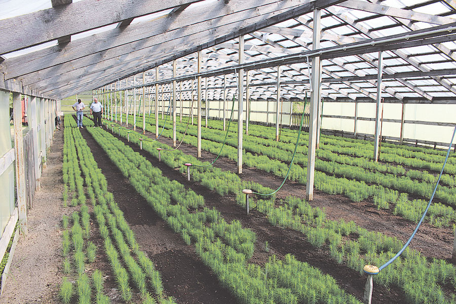 Лесхоз не только сам обеспечивает себя посадочным материалом, но и готовит его для продажи - для этого есть современная теплица и питомник.