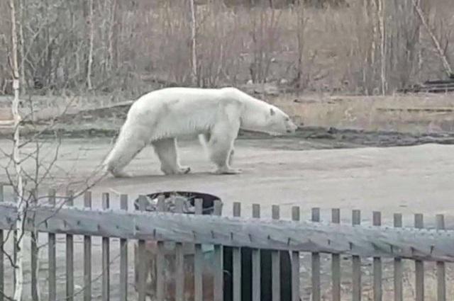 Медведь прогуливался по улицам Джебарики-Хая.