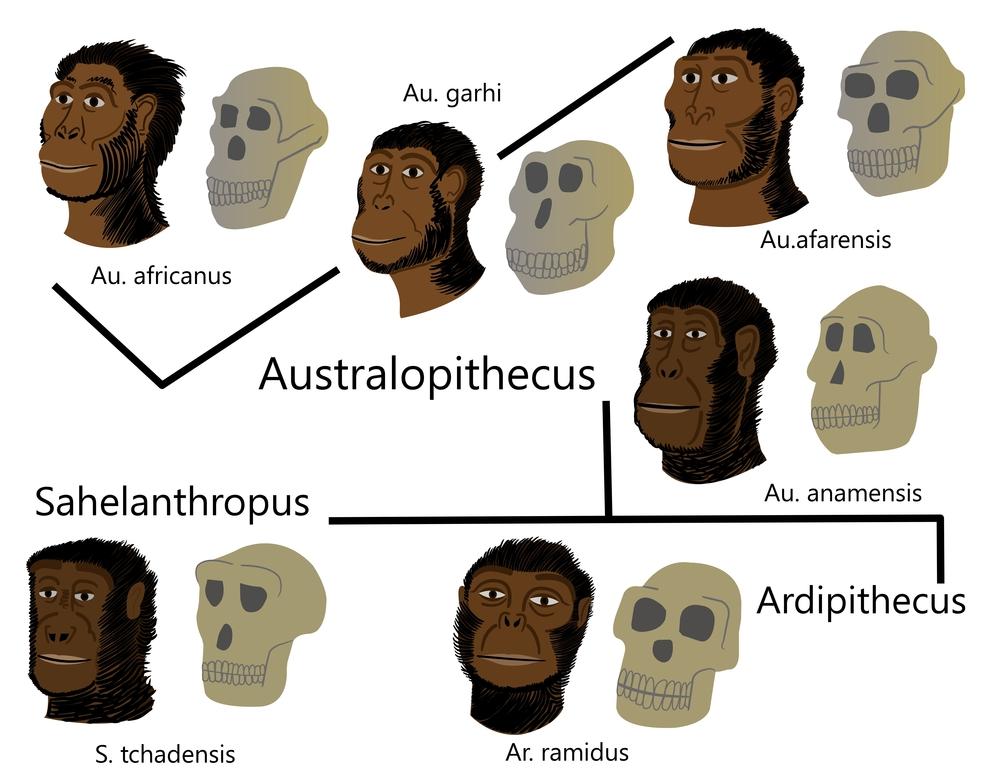 Разновидности австралопитеков.