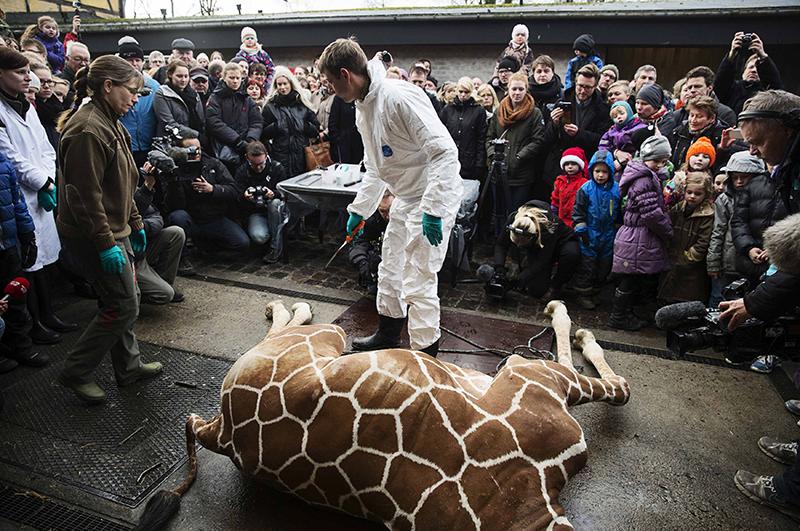 Умерщвление жирафа Мариуса