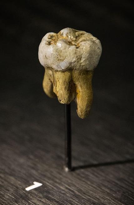 Копия зуба денисовца.