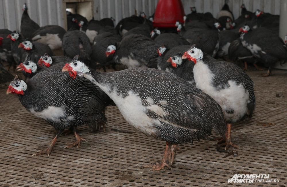 Цесарки болеют гораздо реже кур и другой домашней птицы.