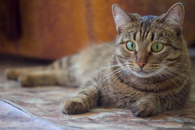 казанские коты