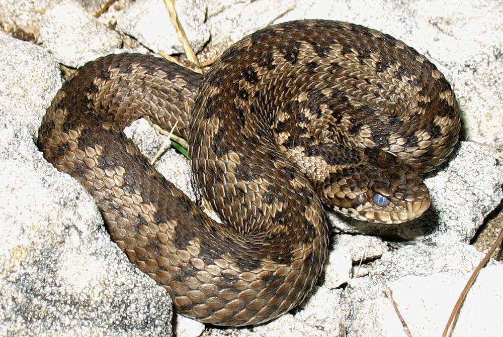 змеи адыгеи, степная гадюка