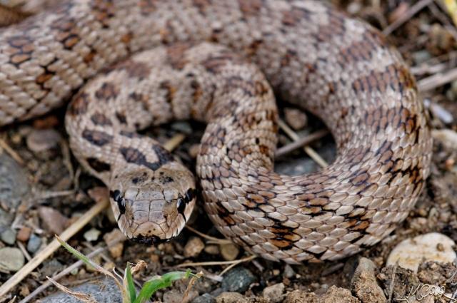 Полоз - один из самых распространенных видов змей у любителей экзотики.