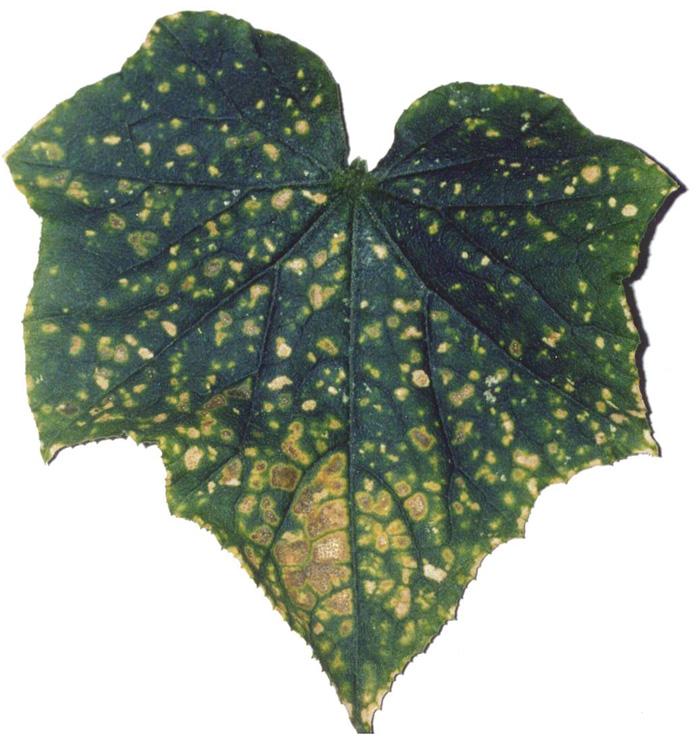 Лист огурца, пораженный калифорнийским трипсом.