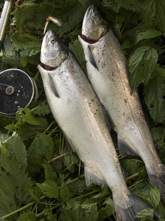 Если у рыбы подрезать култучёк под жабрами и выпустить кровь, лососёвая икра становится чище и не потребует в дальнейшем удаления кровавых сгустков.