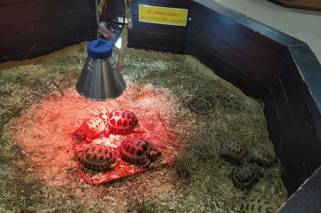 Сухопутные черепахи ютятся в небольшом вольере.