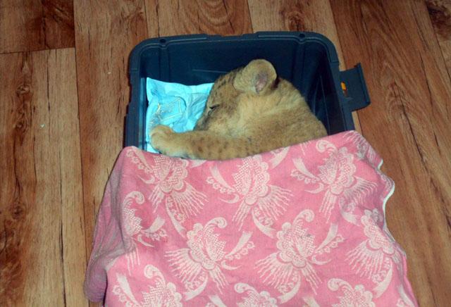 Симба любит, когда её укрывают одеялом