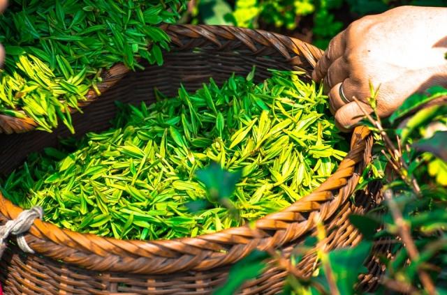 Сбор чая - самый трудоёмкий процесс.