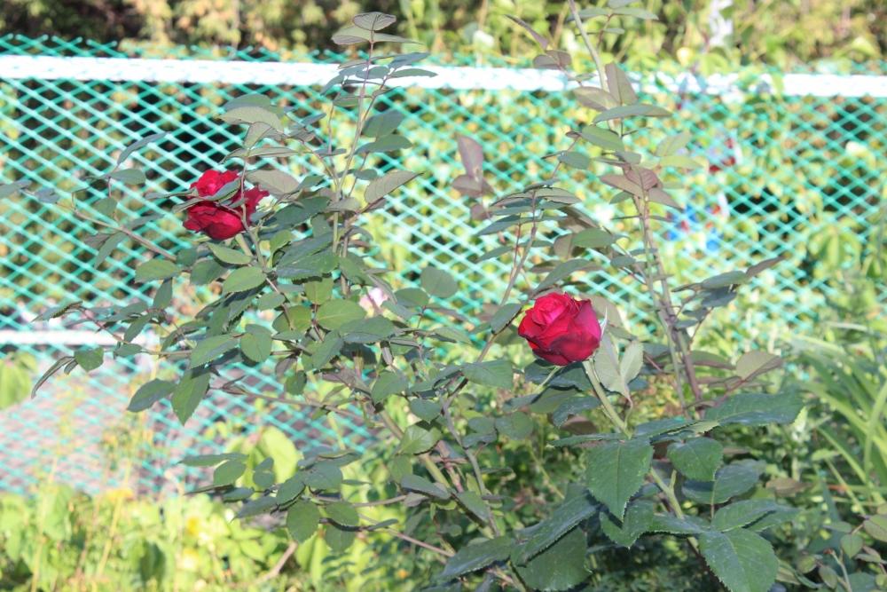 Николай Мешков очень любил розы.