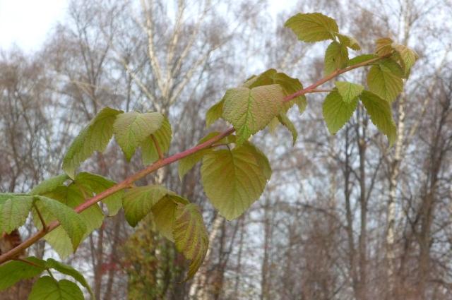 Невызревшие побеги малины долго не сбрасывают листья.