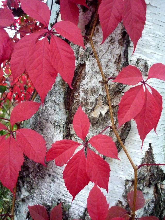 Осенняя окраска девичьего винограда.