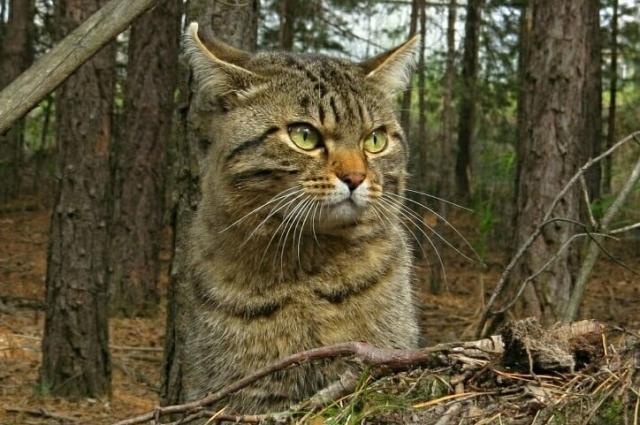 Хозяин леса.