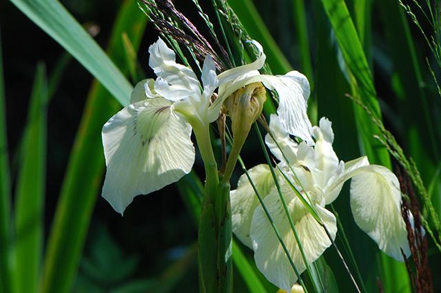 Ирис аировидный с белыми цветками