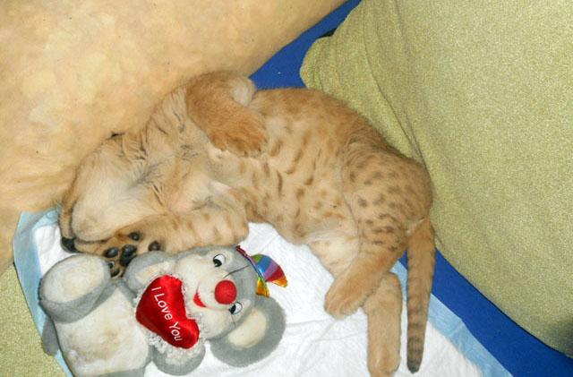 Симба, как и все кошки, любит поспать