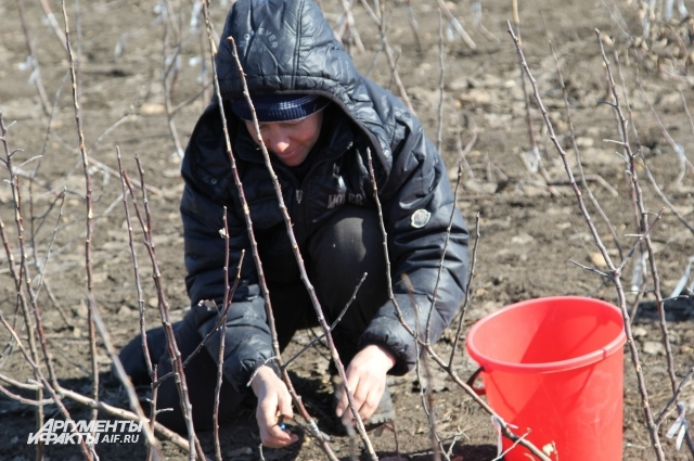 Саженцы плодовых растений также могут пострадать от аномально теплой зимы.