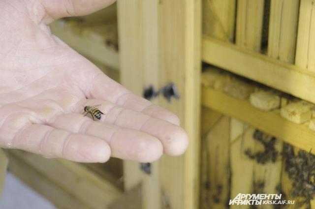 Летальная доза для взрослого человека - это 500 - 1100 пчелиных укусов.